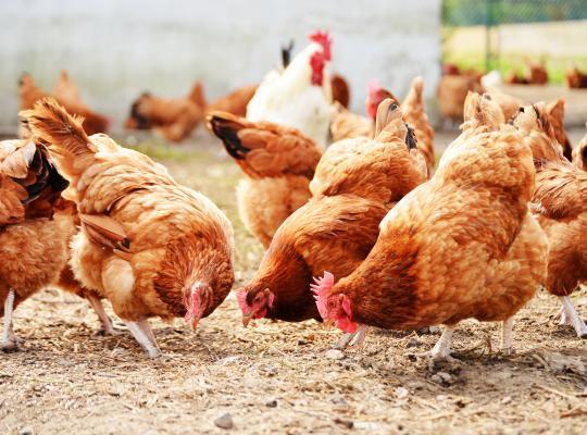 Vergoeding voor pluimveebedrijven na de uitbraak van vogelgriepvirus